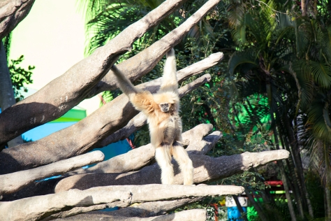 miami-zoo-gold-monkey